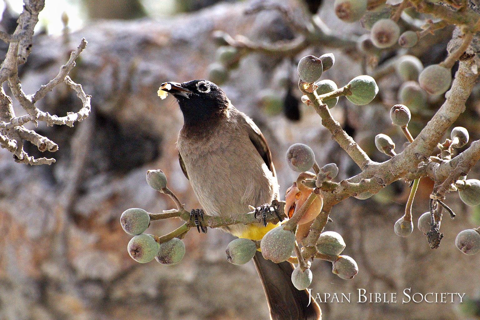 イチジクグワの実をついばむ小鳥